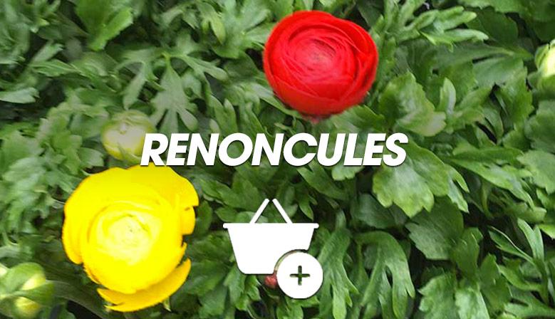 Renoncules
